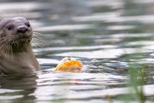 A wild smooth coated otter in the water feeds on a fish in Singapore