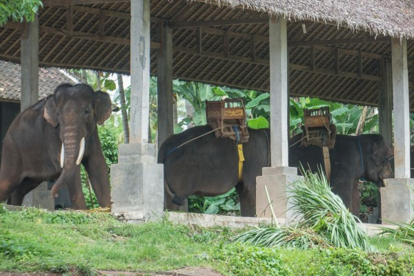 Wild asian elephants in Kaudulla National Park in Sri Lanka - World Animal Protection - Wildlife. Not entertainers