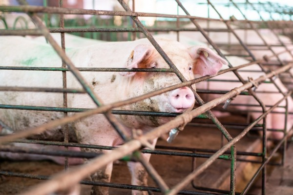 Pig looking through cage on factory farm - World Animal Protection - Animals in farming