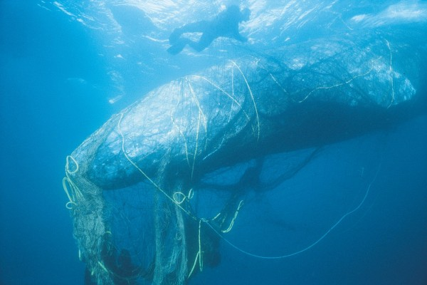 A whale entangled in ghost fishing gear off the coast of California - Sea Change - World Animal Protection