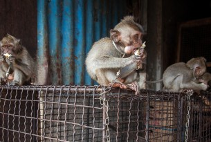A small monkey sits on top of a cage while eating some fruit. Around its neck, a chain ties them to the cage.