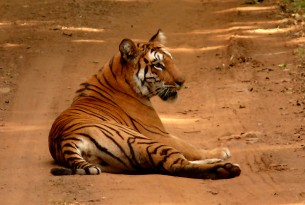 Tiger picture in Navegaon Nagzira Tiger Reserve by Heerak Nandy picture 2