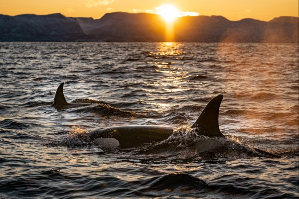 Wild Orcas surface at sunset. Credit: Bart Van Meele