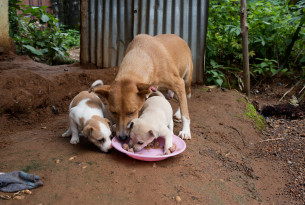 A community dog feeding with her puppies in Sierraleone