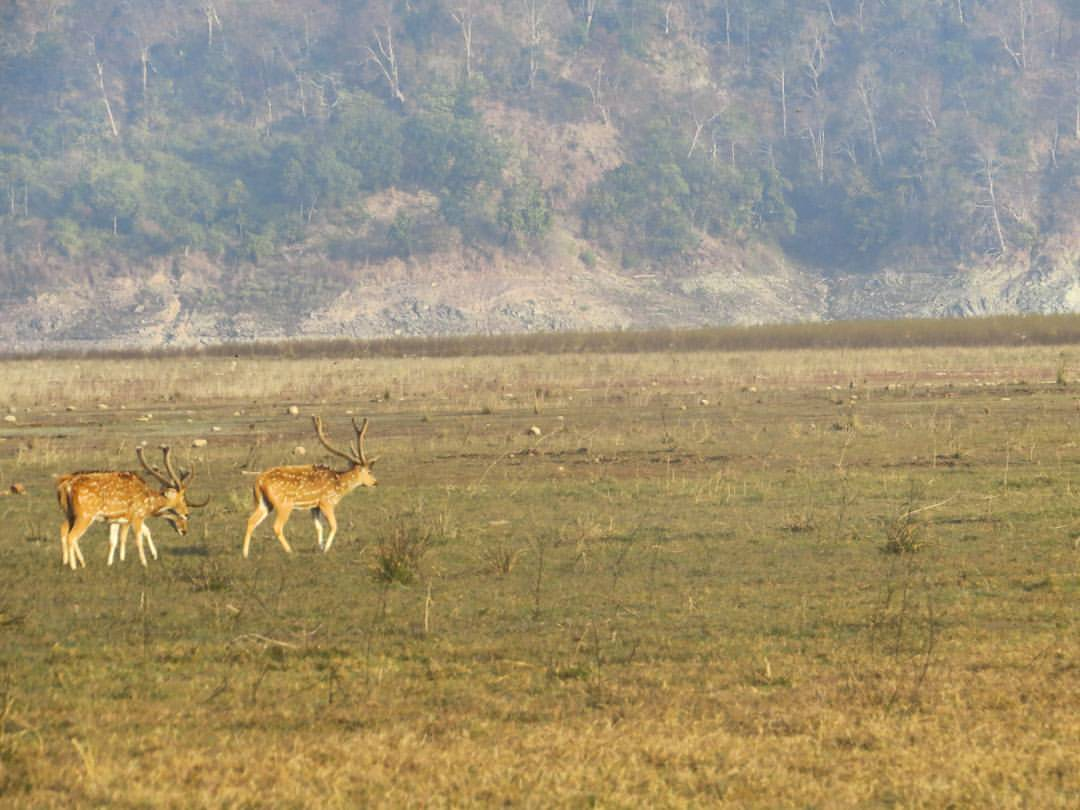 axis deer in corbett by Harsha Doriya
