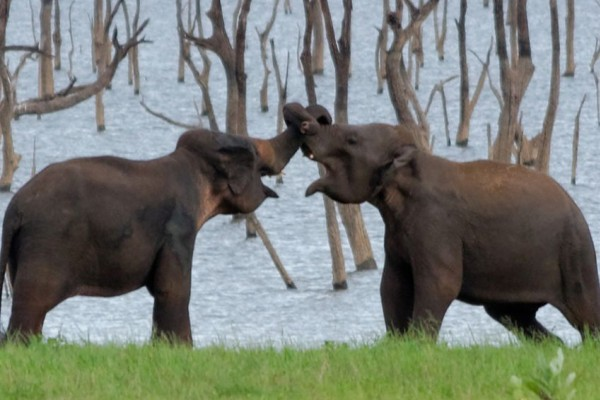 Wild asian elephants in Kaudulla National Park in Sri Lanka
