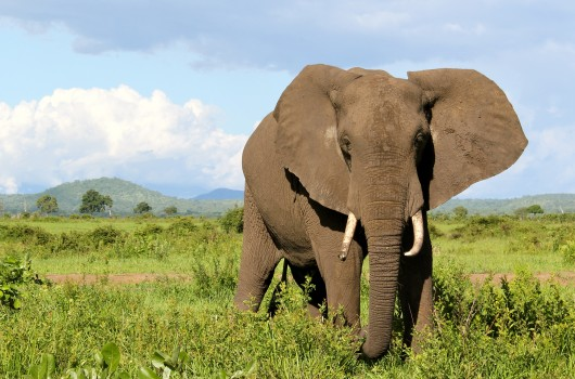 An elephant in Mikumi National Park, Tanzania