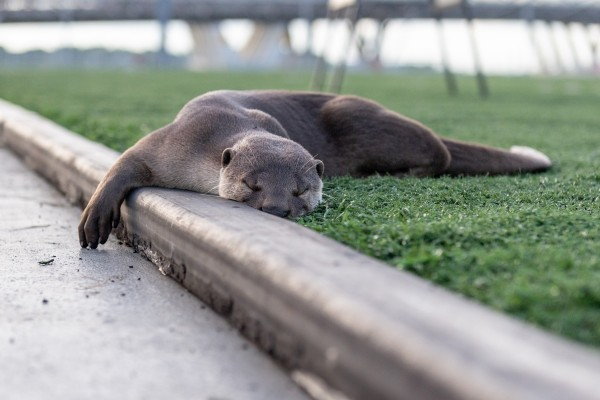 A wild Asian otter rests on the grass within the urban environment of Singapore.