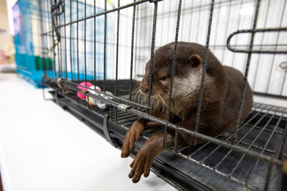 Otter in cage at otter cafe in Japan - World Animal Protection
