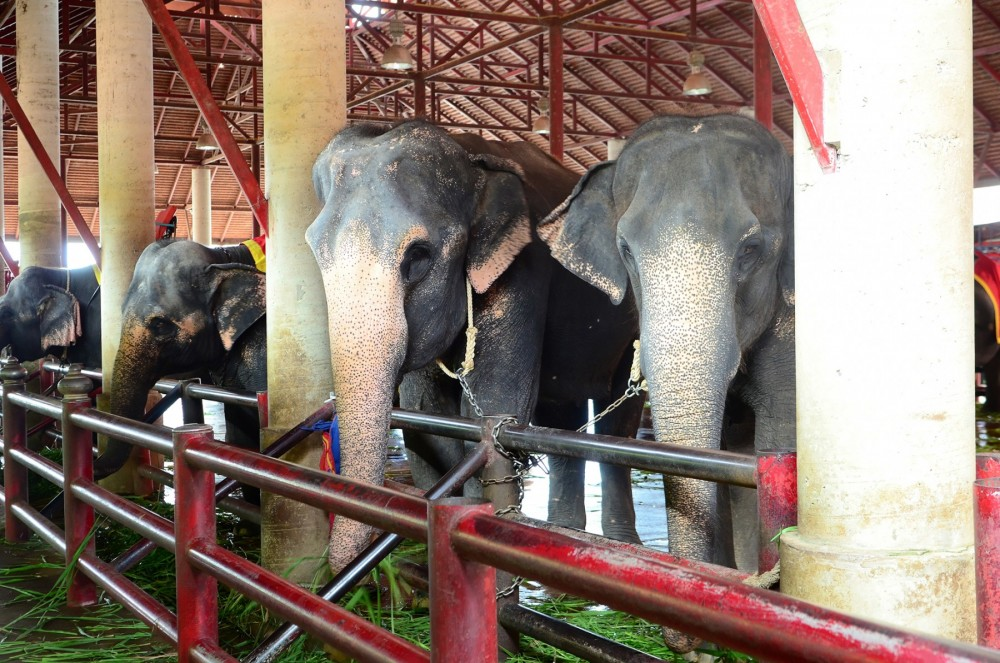 Elephants used for tourist entertainment
