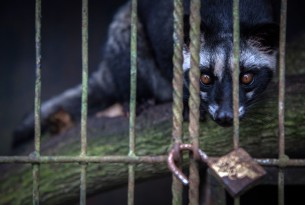 A civet in a cage