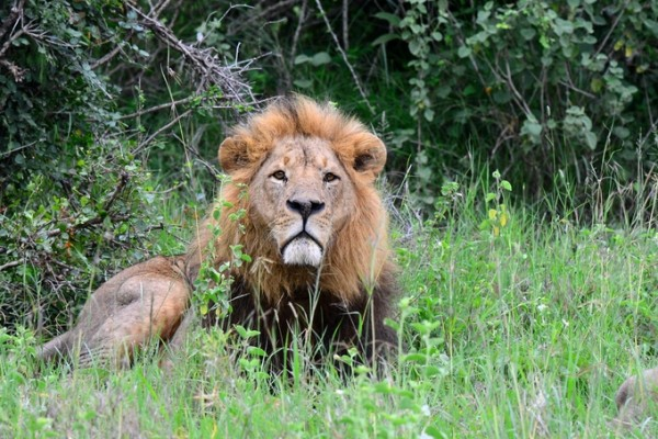 Why a life entertaining tourists is no life for a lion