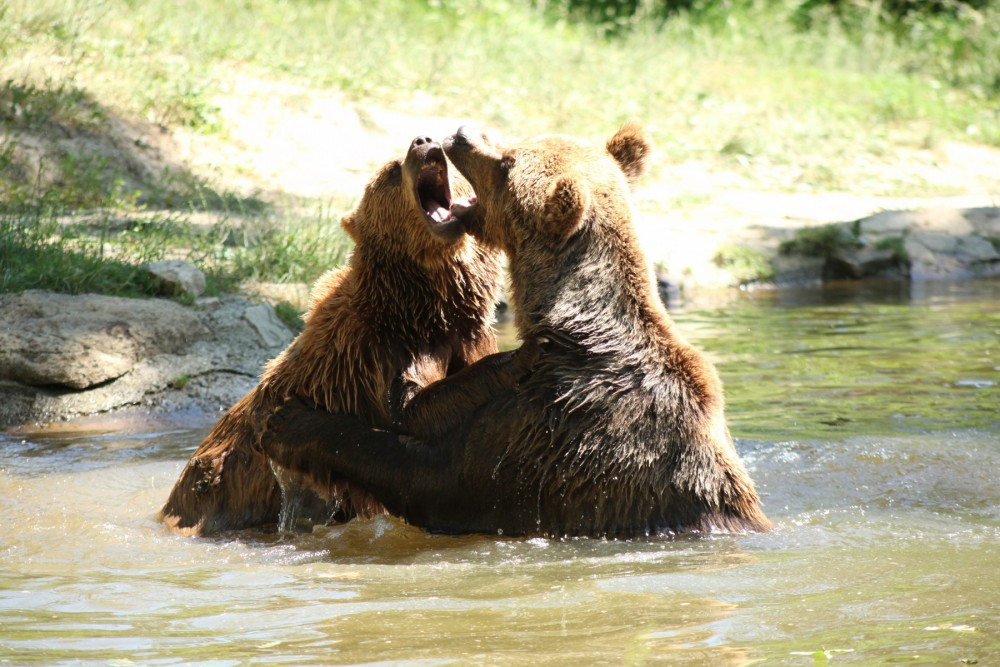 Two bears play fighting in the pond in their enclosure at the Romanian Bear Sanctuary.