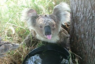 Distressed female koala drinking water during a heatwave, Gunnedah research centre