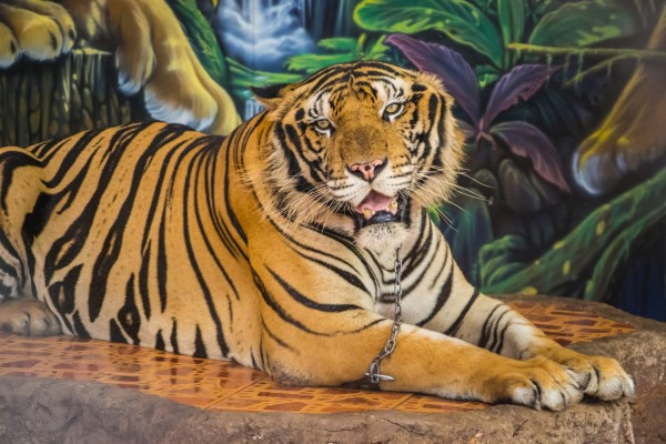 A captive tiger used for photos at an undisclosed location