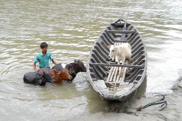 A young livestock owner is moving his animals across this swollen river in West Bengal, India following a flood.