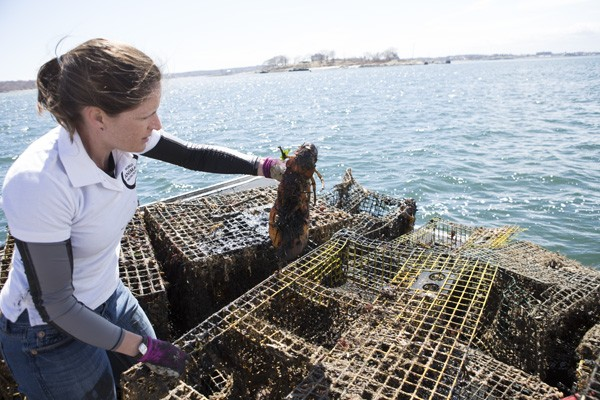 Elizabeth Hogan of World Animal Protection removes lobster from derelict trap to return to the water.