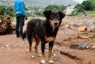 Dog stands in front of rubble in Sierra Leone after mudslides - Disaster management - World Animal Protection