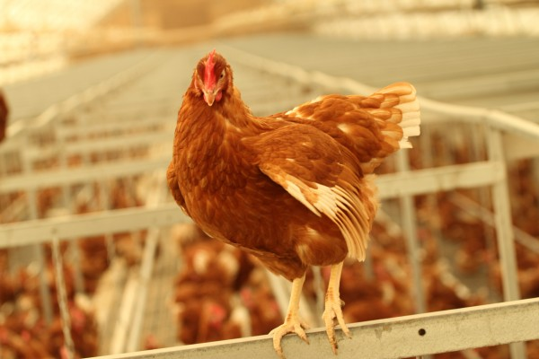 Tim Horton's commits to Cage-Free