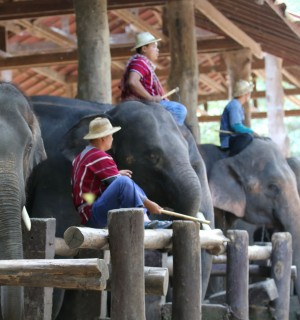 Elephants with mahouts at an elephant tourist attraction in Thailand - Wildlife. Not entertainers - World Animal Protection