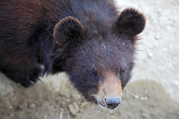 Rene is a small Asiatic black bear. Her fur is dark brown and lightens to a dark beige on her muzzle. She has little round ears.