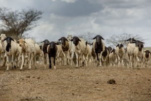 Livestock in Kajaido County, Kenya, where we've been assisting 80,000 animals suffering from an ongoing drought.