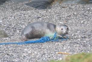 Seal in ghost fishing gear, Cornwall