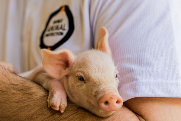 7 things you may not know about pigs