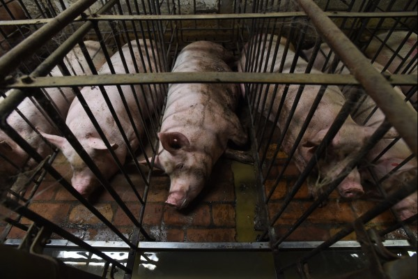 Pigs in cages