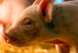 Piglet at high welfare indoor pig farm in UK