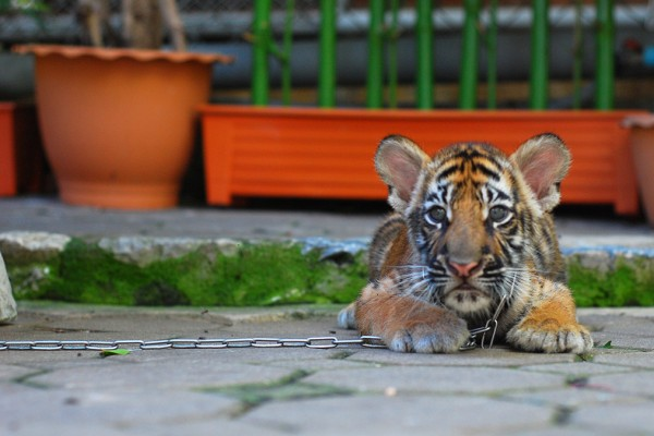 tiger cub chained