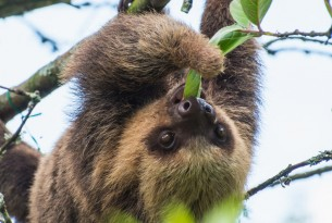 sloth eating leaves at AIUNAU Foundation who rehabilitate and release sloths back into the wild after the Amazon fires