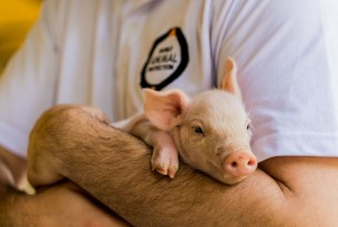 A win for pigs: one of the world's largest pork producers commits to better welfare for mother pigs