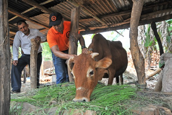 World Animal Protection's Dr Sergio Vasquez examines Khila Prashad Gajureal's surviving cow in Bidur, Nepal.