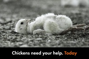 Chickens need your help today