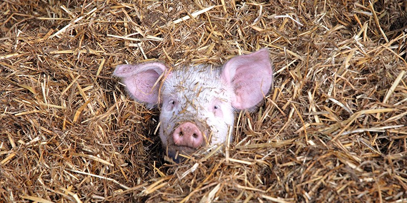 A piglet foraging through straw in a high-welfare farm