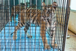 A tiger in a cage being used as a photo prop at a tourist venue - Wildlife. Not entertainers - World Animal Protection