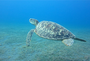 A green sea turtle swimming in the ocean
