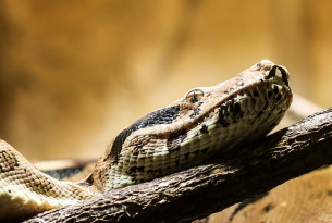 No concern over welfare of escaped pet boa constrictor