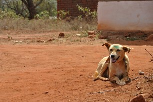 A dog in Kenya who has just been vaccinated against rabies