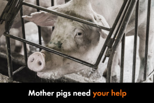 Mother pigs need your help