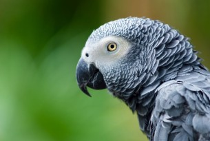 5 surprising facts about African grey parrots