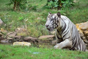 A white tiger in the wild in India