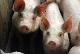 Pigs on a farm in the EU - World Animal Protection - Animals in farming