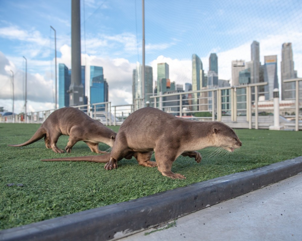 Two wild Asian otters chasing each other within the wildlife-friendly urban environment of Singapore