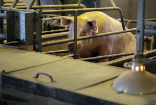 pig, EU