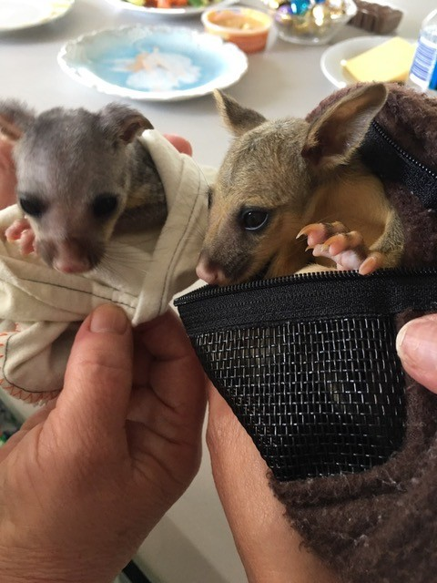 Ash (left) and her unnamed best friend (right) are baby brushtail possums