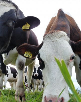 Holstein cattle at a 'free choice' dairy farm in the north of the Netherlands