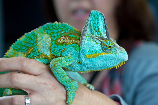 Reptiles as pets? Camouflage, complex behaviour and family life
