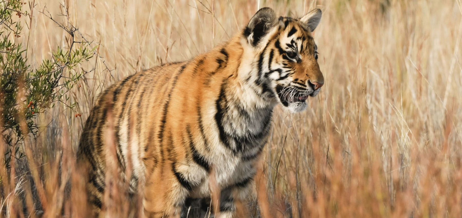 Wild tiger in long grass in unknown location